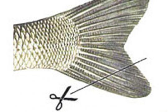Couper la nageoire caudale