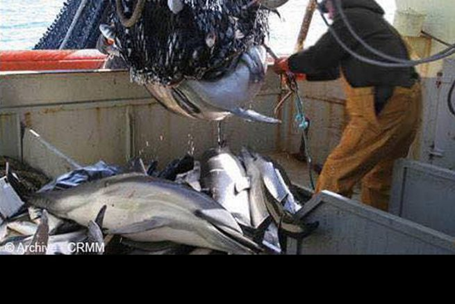 Bars en reproduction et dauphins victimes du chalutage sur la zone Natura 2000 de Rochebonne