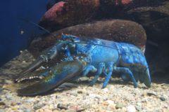 Un homard bleu