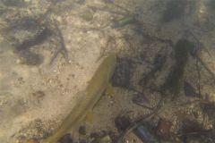Grosse truite fario posée sur le lit de la rivière